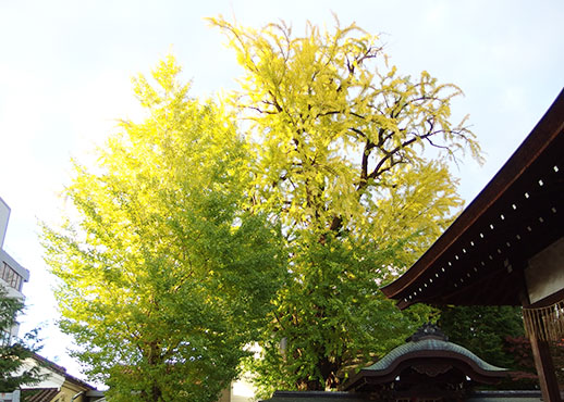 大将軍神社の銀杏