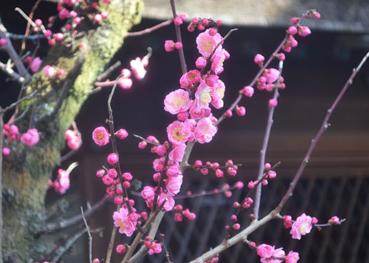 下御霊神社の梅