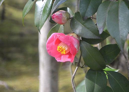 松花堂早咲き籔椿