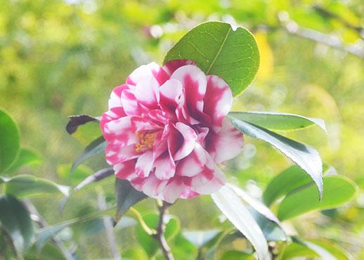 松花堂の椿、鹿児島