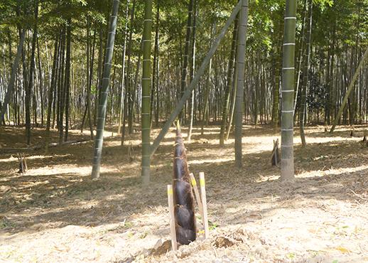 石田ファームの親竹