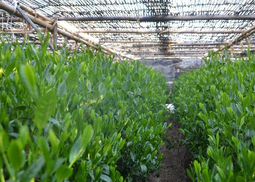 吉田銘茶園の茶畑